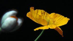 proprieta papavero giallo